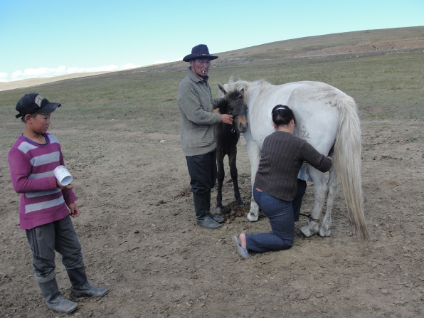 Local Mongolian family milking one of their horse.
