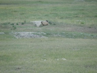 Marmot- Mongolian Prairie dogs