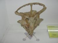 Dino skull